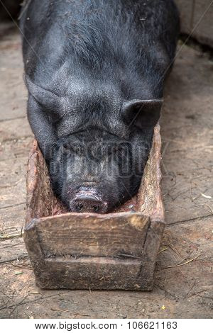 sow lies in the trough