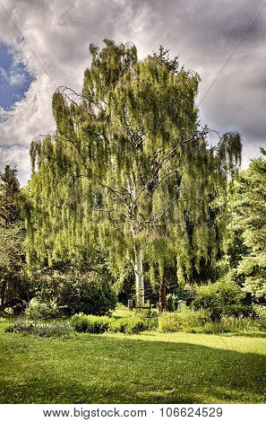 Hdr Shot Of A Birch Tree In A Garden