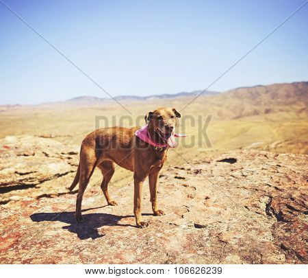 a dog standing on a mountain top looking at the camera on a hot summer day toned with a retro vintage instagram filter effect app or action