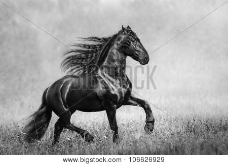The black Frisian stallion in the autumn foggy field. B&W photo.