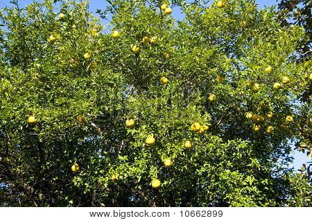 Grapefruit On Branch