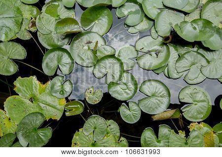 The Lotus Leafs Over Water Background.