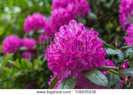 Aerial View Beautiful Pink Rhododendron Tree Blossoms Spring Garden Background