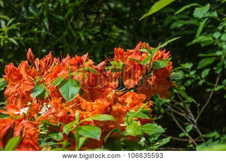 Aerial View Beautiful Red Rhododendron Tree Blossoms Spring Garden Background