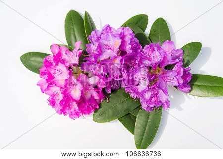 Aerial View Pink Lilac Rhododendron Blossoms White Background