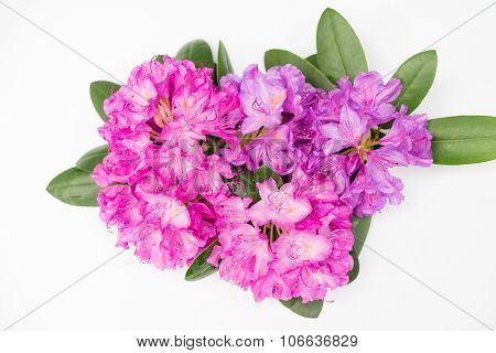 Aerial View Pink Lilac Rhododendron Blossoms Isolated White Background