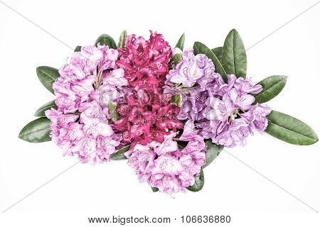 Aerial View Pink Red Lilac Rhododendron Blossoms Isolated White Background