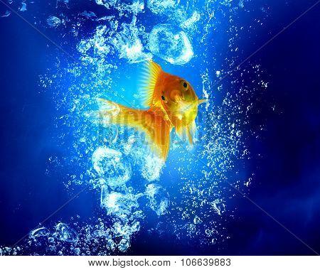 Gols fish swim in clear blue water