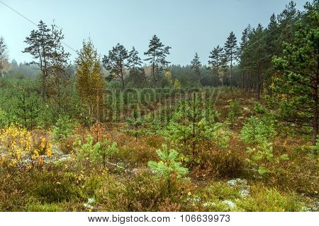 Young Pines In The Forest