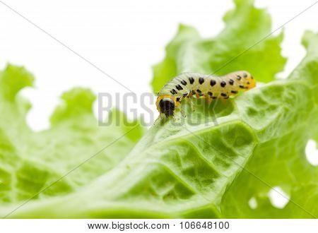 Caterpillar Crawling To Leaf