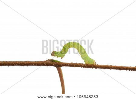 Macro Of Inchworm Isolated On White