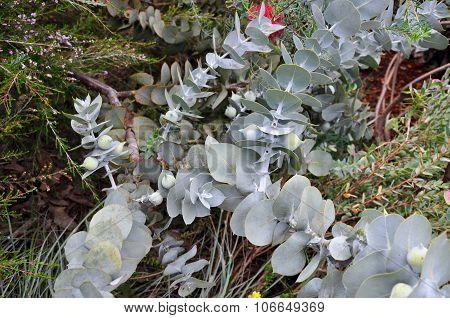 Eucalyptus Plant: King's Park, Western Australia