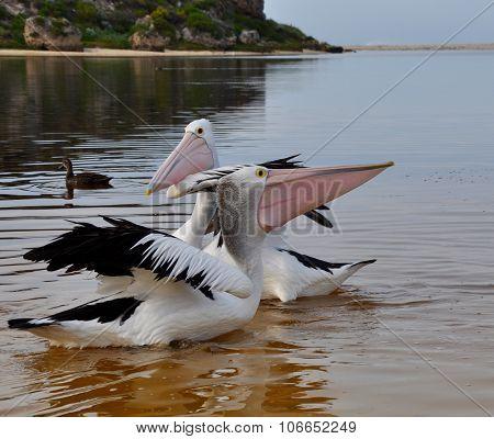 Pelican's Face Off: Moore River, Western Australia
