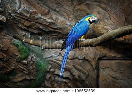 macaw parrot blue