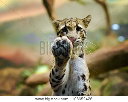Young Amur or Manchurian leopard