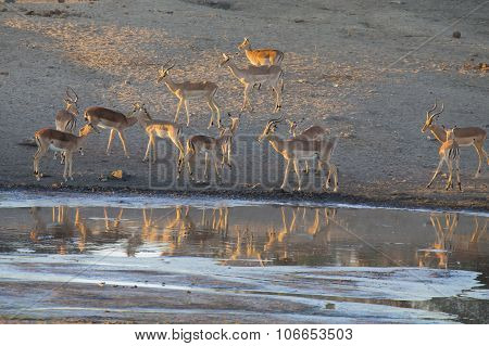 Large Impala Herd Drinking Water At A Pond In Late Afternoon