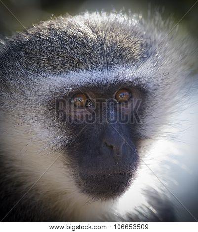 Vervet Monkey Portrait Close Up With Detail On Long Facial Hair