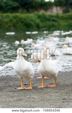 Ducks In Farm
