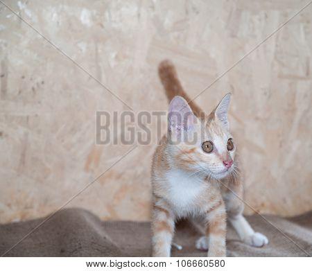 Cat Brown , Cats Interbreeding Thailand.