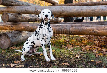 Dalmatian seats near logs.