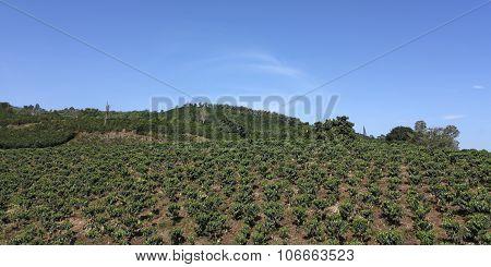 Farmland Coffee In Colombia.