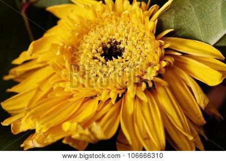 Closeup Of Yellow Sun Flower With Green Leaves