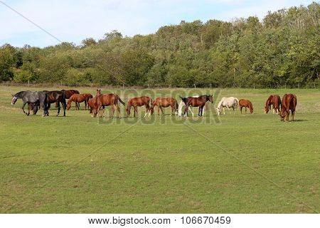 Young Chestnut Mares And Foals Eating Fresh Green Grass On The Pasture