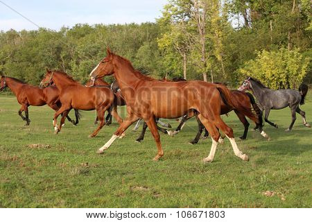 Mares And Foals Galloping On The Meadow Summertime