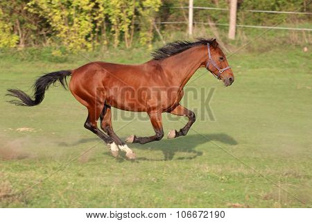 Bay Colored Purebred Yearling Horse Galloping On The Meadow