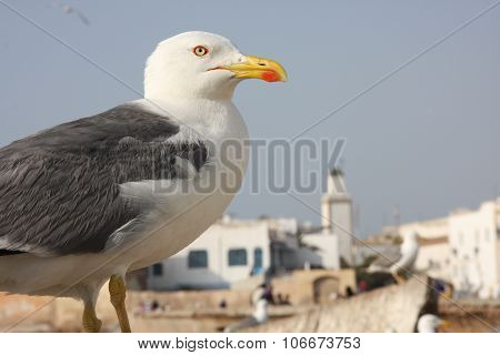 Gull of Essaouira