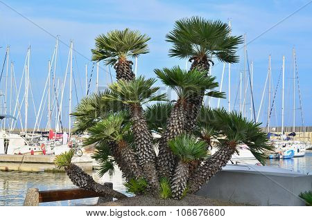 Clump Of Palm Trees At The Ship's Port Of Santo Stefano Al Mare