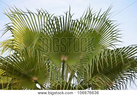 Palm Washingtonia, Santo Stefano Al Mare, Liguria