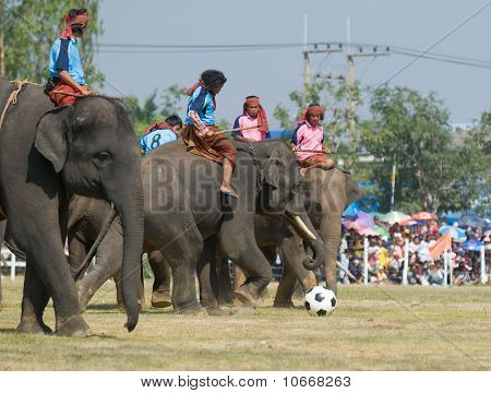 The Annual Elephant Roundup In Surin, Thailand