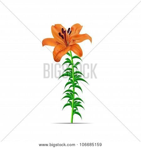 illustration with orange lily flower isolated on white background.
