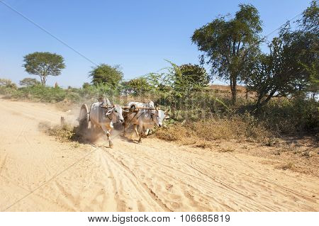 A Yoke Of Running Oxen On A Dusty Road