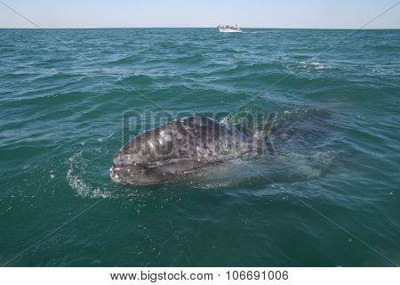 Whale calf approaching a small boat