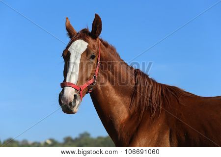 Thoroughbred Young Horse Posing Against Blue Sky