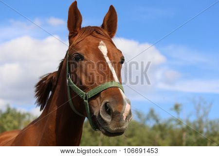 Head Shot Of A Beautiful Young Chestnut Mare