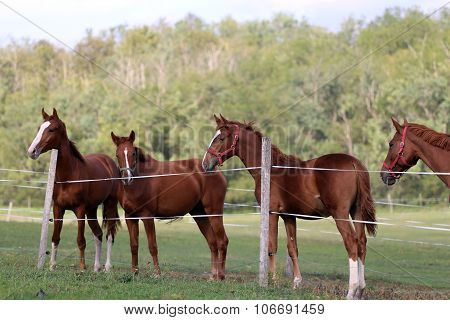 Herd Of Purebred Chestnut Horses Grazing On Meadow