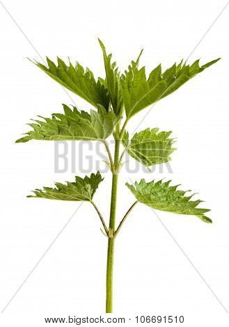 Green Leaves Of Nettle On A White Background