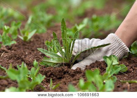 Hand Weeding In The Vegetable Garden, Closeup