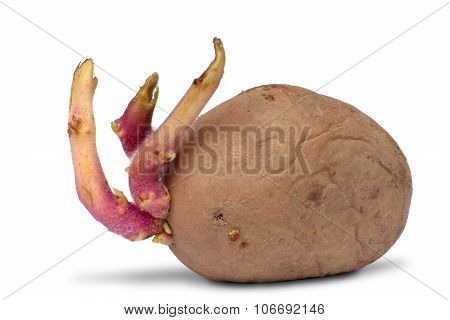 Potato Tuber With Sprouts On White