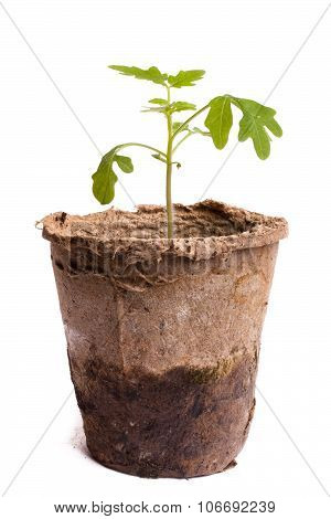 Seedling Of Tomatoes On White Background
