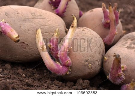 Sprouted Potatoes On The Ground