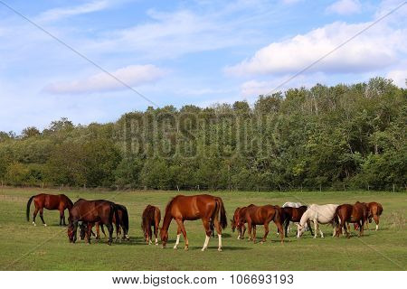 Herd Of Purebred Horses Eating Fress Green Grass Natural Environment