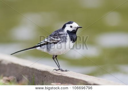 Pied Wagtail By The Edge Of A Lake
