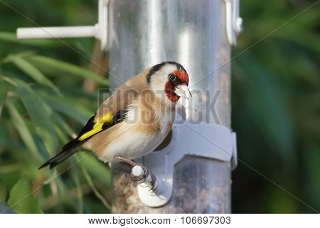 Goldfinch On A Garden Feeder