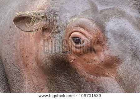 Portrait of hippopotamus