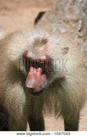 Baboon110