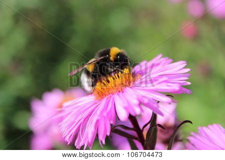 Bumblebee On The Aster
